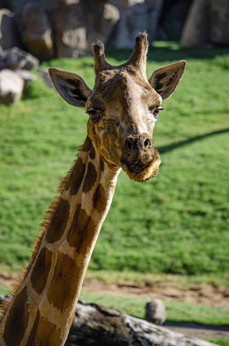 La jirafa Che en BIOPARC Valencia octubre 2019