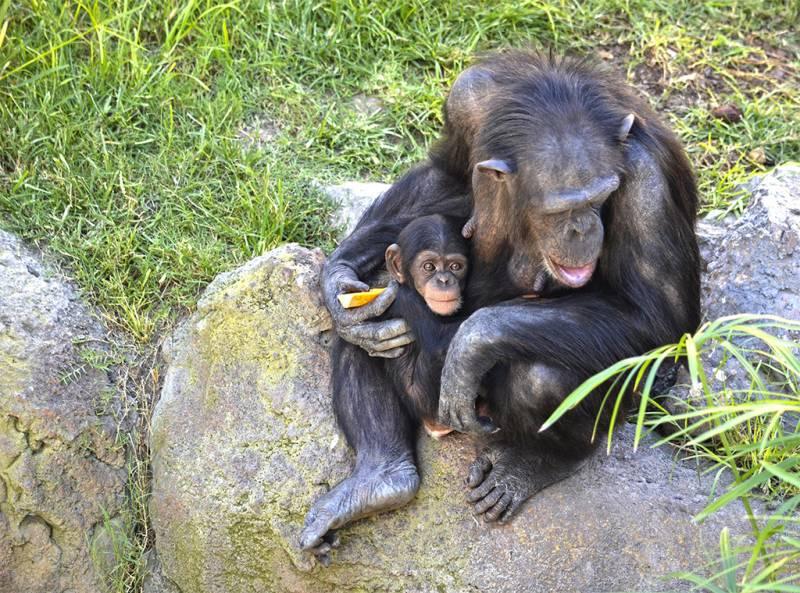 Octubre 2018 - Chimpancés - Noelia y Coco - BIOPARC Valencia