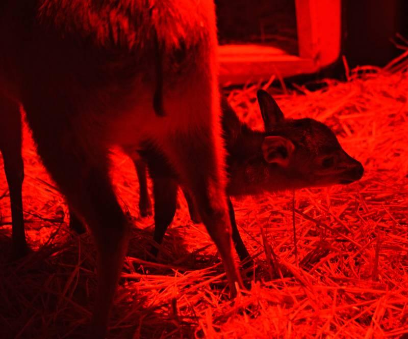 Un duiker rojo de Natal - el primer animal nacido en 2019 en BIOPARC Valencia - 1 enero 2019