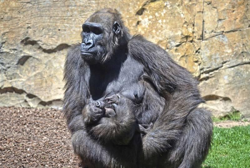 BIOPARC Valencia - La gorila Ali y su bebé Félix - abril 2019