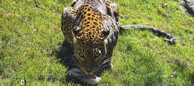Animal alimentándose en Bioparc. EPDA