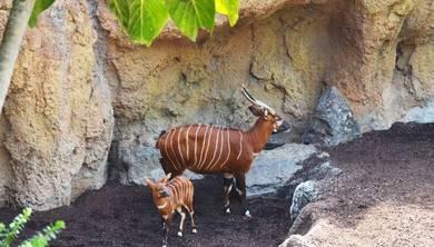 Nuevo nacimiento en Bioparc Valencia, un antílope en peligro