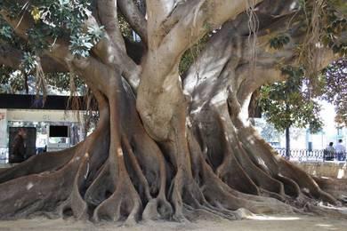 Las 5 rutas para descubrir los más de 500 árboles monumentales de Valencia