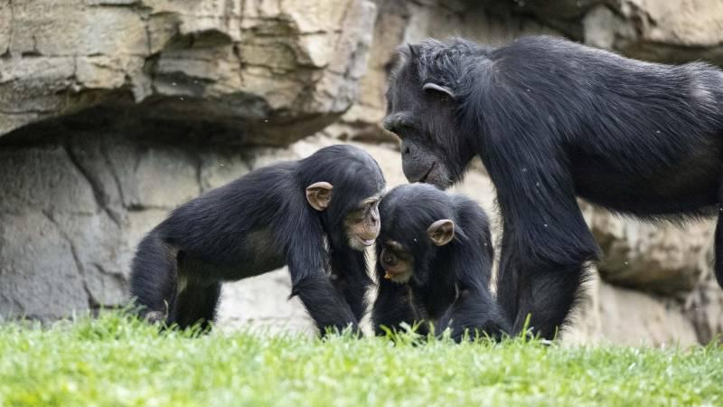 Chimpancés en Bioparc. EPDA.