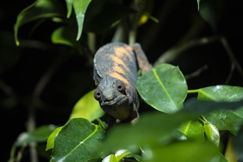 El camaleón pantera en el nuevo terrario del Bioparc. EPDA